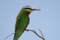 Blue-cheeked-Bee-eater_4440
