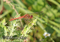 Common-Darter_1700