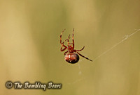 Garden-Cross-Spider_9448