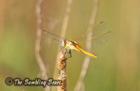 Red-veined-Darter_1645