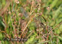 Red-veined-Darter_1722