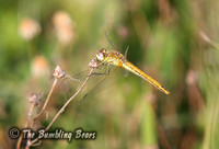 Red-veined-Darter_1747