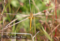 Red-veined-Darter_1766