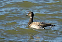 Pale-bellied-Brent Goose_3214