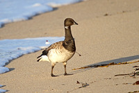 Pale-bellied-Brent-Goose_3157