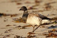 Pale-bellied-Brent-Goose_3176