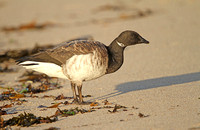 Pale-bellied-Brent-Goose_3179
