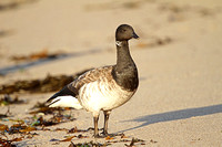 Pale-bellied-Brent-Goose_3186