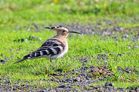"Hoopoe ""Woodford Halse"""