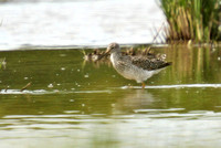 Greater Yellowlegs 09/06/2015