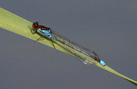 Red-Eyed-Damselfly-2