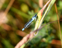 Common_Blue_Demselfly1