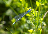 Common-Blue-Damselfly2