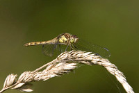 Common-Darter-3