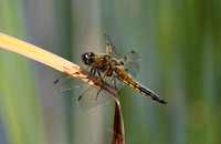 Four-Spotted-Chaser-1