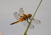 Four-Spotted-Chaser-2