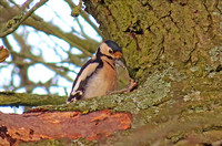 Great-spotted-Woodpecker_reo1319