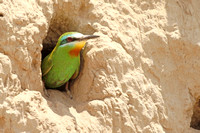 Blue-cheeked-Bee-eater_3771