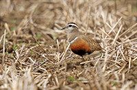 Dotterel April 2013