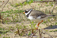Ringed-Plover_2116