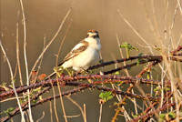 Woodchat Shrike_2603