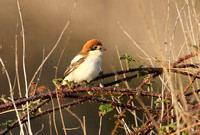 Woodchat-Shrike_2619