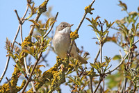 Whitethroat_2871