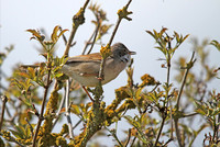 Whitethroat_2880