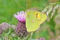 Clouded-Yellow_3003Reo