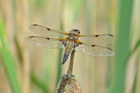 Broad-bodied-Chaser_3042Reo