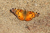 American-Painted-Lady_3992