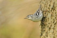 Black-and-white-Warbler_409