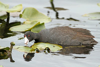 American-Coot_5509