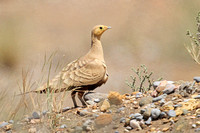 chestnut-bellied-Sandgrouse_2315