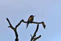 Bee-eater Nottinghamshire 02/07/2017