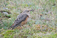 Rock Thrush  29-Oct-17