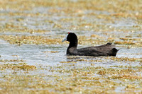 Red-knobbed-Coot_5849