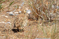 chestnut-bellied-Sandgrouse_2281