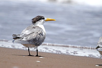 Swift-Tern_2048