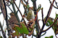 Yellow-browed-Warbler_2229