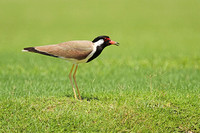 Red-wattled-Lapwing_1468
