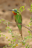 Blue-cheeked-Bee-eater_2783