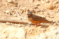 Striated-Bunting_6370