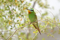 Blue-cheeked-Bee-eater_3800