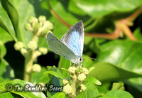 Holly-Blue0250