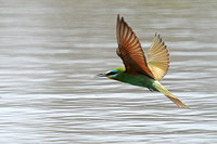 Blue-cheeked-Bee-eater_3479