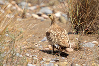 chestnut-bellied-Sandgrouse_2288
