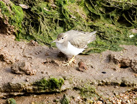 Spotted-Sandpiper11