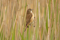 Great-Reed-Warbler-6