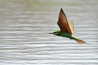 Blue-cheeked-Bee-eater_3478